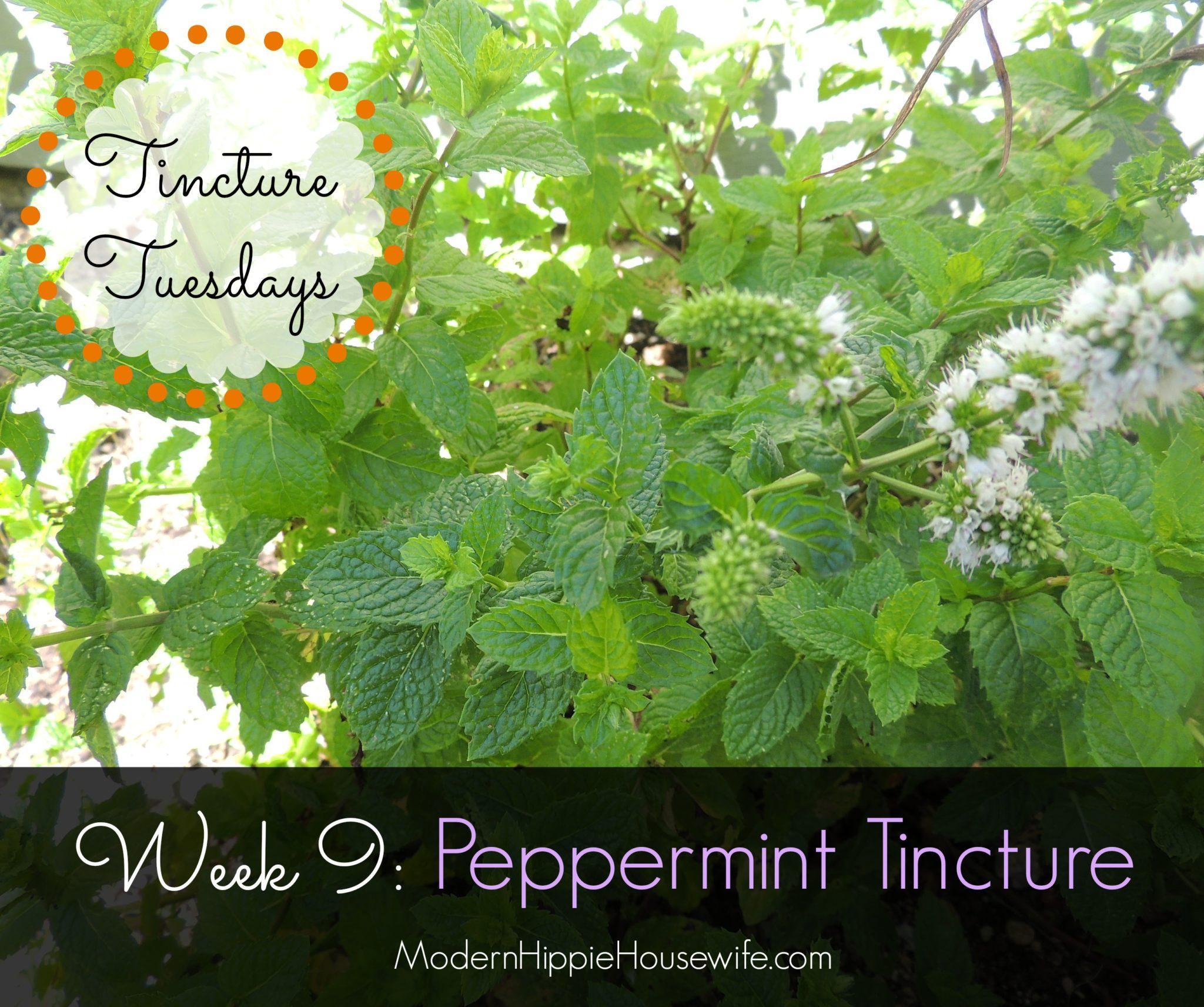How to a Peppermint Tincture Modern Hippie Health Wellness