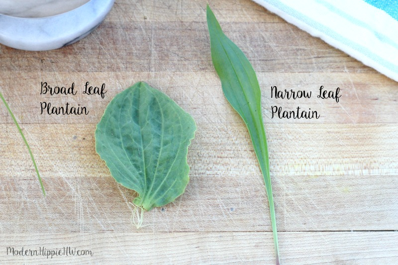 How to Use Plantain for Bug Bites, Stings and Burns