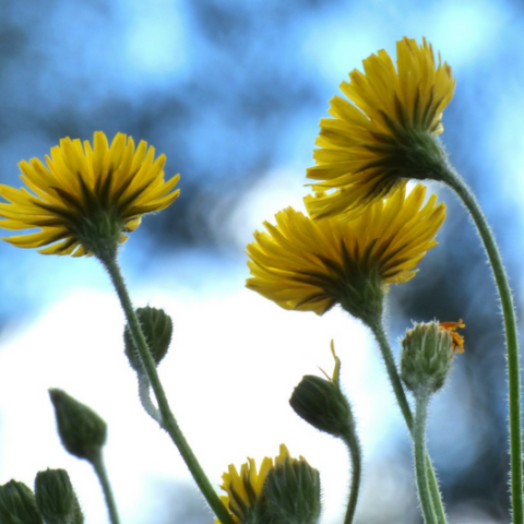 Four Fabulous Uses for Dandelions